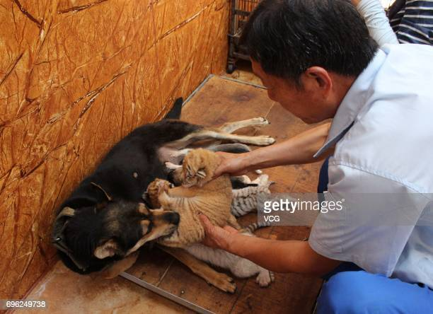 A breeder helps baby tigers born by a 5yearold Bengal tiger defecate at Rongcheng County on June 14 2017 in Weihai Shandong Province of China Four...
