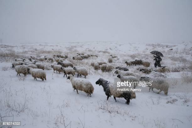 Breeder herds his sheep e after heavy snowfall in Van Turkey on November 24 2017