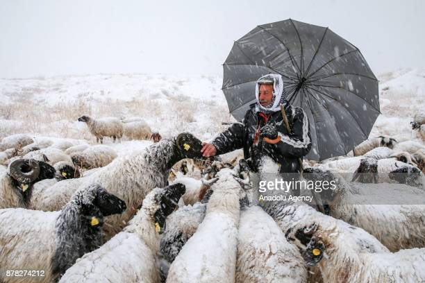 Breeder herds his sheep e after heavy snowfall in Van Turkey on November 24 2017