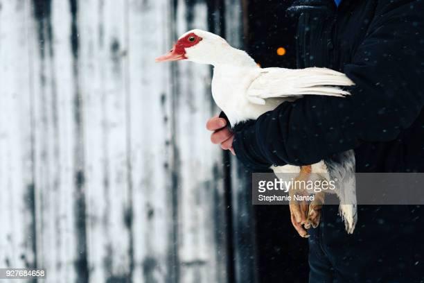 breeder who takes a duck - canard photos et images de collection