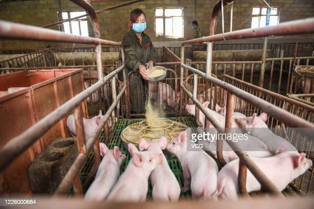 Breeders feed piglets at a pig farm on May 12, 2020 in Bijie, Guizhou Province of China.
