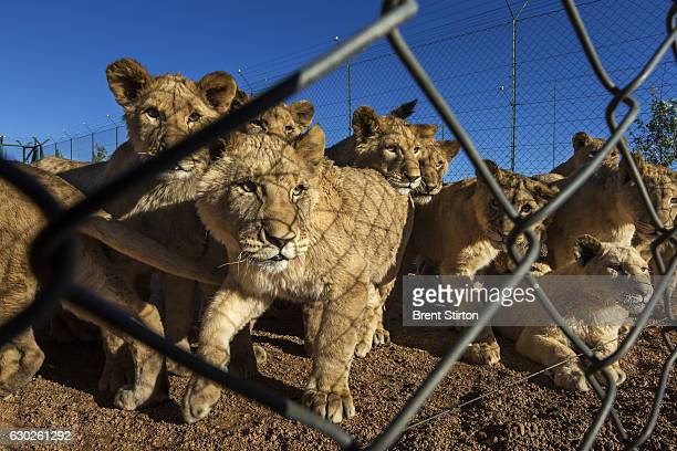Breeding cages for lion cubs on Buisfontein a lion breeding farm outside of Wolmaransstad South Africa on September 31 2012 These lions will be...