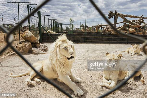 Breeding cages for lions on Buisfontein a lion breeding farm outside of Wolmaransstad South Africa on September 31 2012 These lions will be raised to...