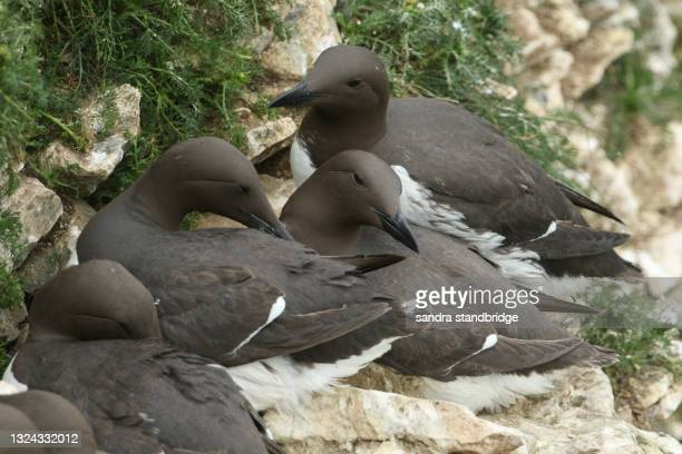 a breeding colony of guillemot, uria aalge, on a ledge on the cliff face during breeding season. - medium group of animals stock pictures, royalty-free photos & images