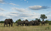 breeding herd african elephants loxodonta africana