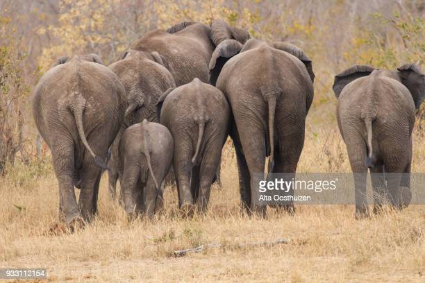 breeding herd of rear end elephant walking away into the trees - kruger national park, south africa - big arse stock pictures, royalty-free photos & images