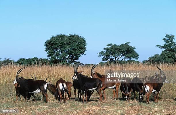 breeding herd of sables, hippotragus niger, southern east africa. - palanca negra imagens e fotografias de stock