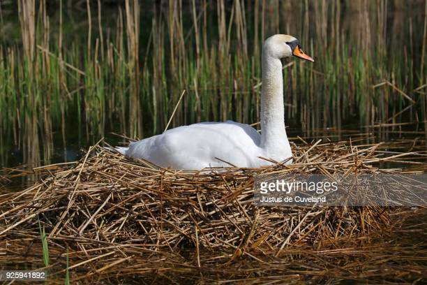 breeding mute swan (cygnus olor) on the nest, schleswig-holstein, germany - schleswig holstein stock pictures, royalty-free photos & images