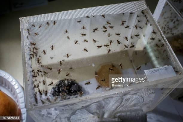 Breeding of fruit flies in a container at the International Center of Insect Physiology and Ecology Laboratory for the investigation of remedies...