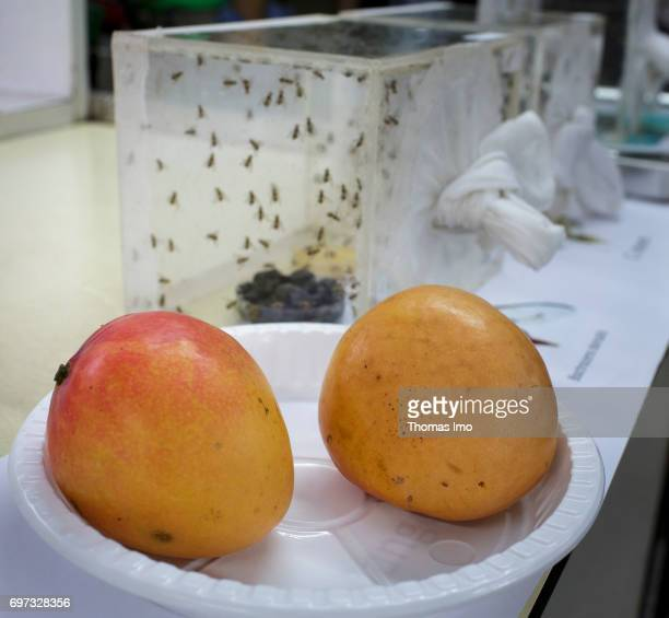 Breeding of fruit flies in a container In the foreground are two mangoes at the International Center of Insect Physiology and Ecology Laboratory for...