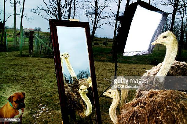Breeding of ostriches in PARIS: light gray female and male black and looking into a mirror. .