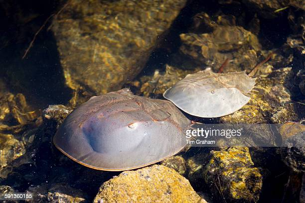 Breeding pair Horseshoe Crabs mating at JN Ding Darling National Wildlife Reserve Captiva Island Florida USA