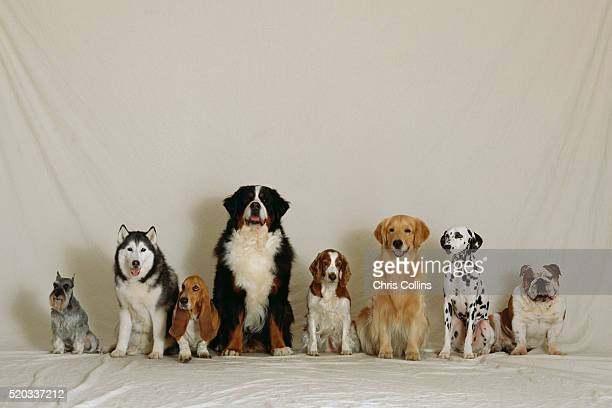 breeds of dogs lined up - purebred dog stock pictures, royalty-free photos & images