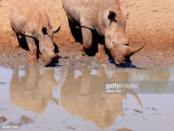 Breitmaulnashörner trinken nebeneinander, Spiegelung im Wasser