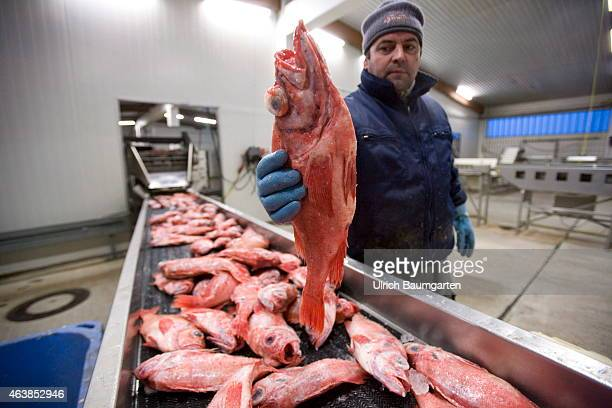 Bremerhaven Fish Auction GmbH Delivery of redfish on a conveyor belt on February 18 2015 in Bremerhaven Germany