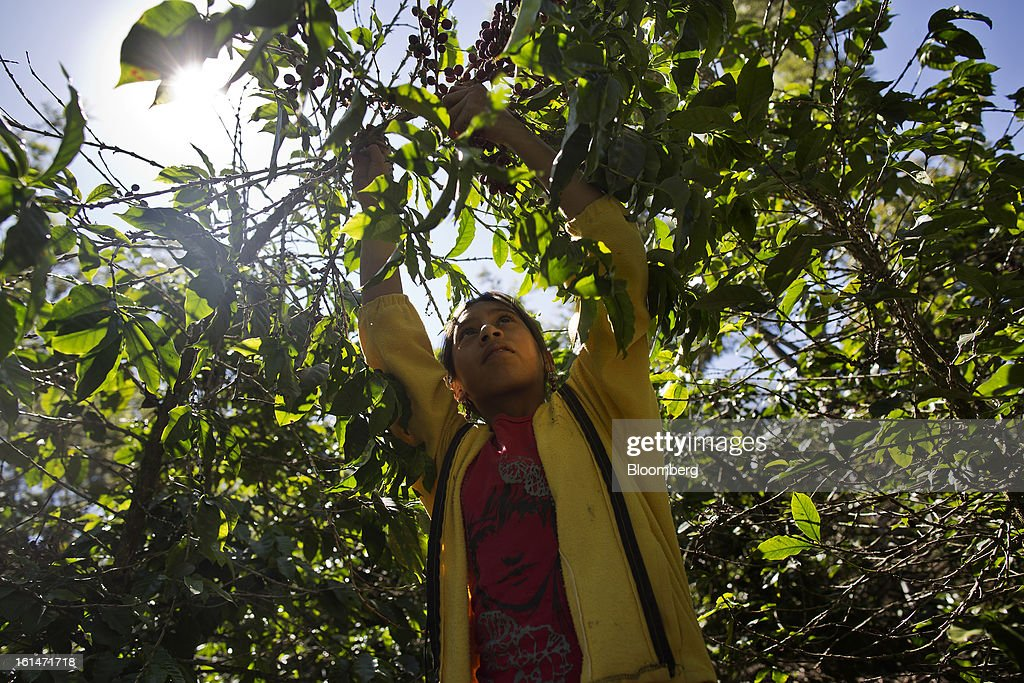 Brenda Lourdes Perez Martinez, 11, helps her family pick coffee beans on a small parcel damaged by the roya coffee fungus near Antigua, Guatemala on Saturday, Feb. 9, 2013. The Guatemalan National Coffee Association said that rust disease, known as roya in Spanish, will destroy 15 percent of the 2012-2013 harvest and as much as 40 percent of next season's harvest. Photographer: Victor J. Blue/Bloomberg via Getty Images