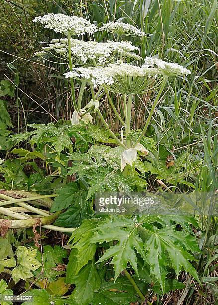 Bärenklaupflanzen, Riesen-Bärenklau