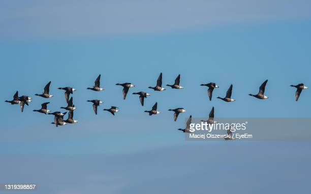 brent geese in flight, brent goose branta bernicla in devon in england, europe - animal themes stock pictures, royalty-free photos & images