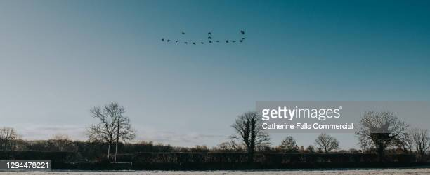 brent geese migrating - animal limb stock pictures, royalty-free photos & images