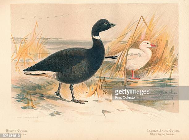 Brent Goose Lesser Snow Goose ' From The Game Birds and Wild Fowl of The British Islands by Charles Dixon illustrated by Charles Whymper [Pawson...