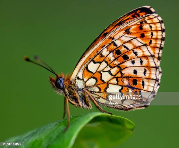 brenthis hecate – twin-spot fritillary butterfly - lepidoptera stock pictures, royalty-free photos & images