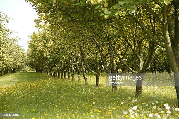breton apple orchard - orchard stockfoto's en -beelden