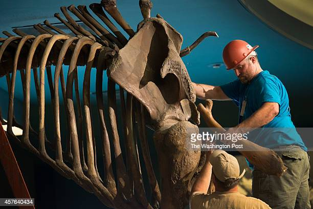 Brett Crawford and Matt Fair as carefully deconstruct the vertabrae of a Wooly Mammoth skeleton at the Smithsonian Museum of Natural History in...