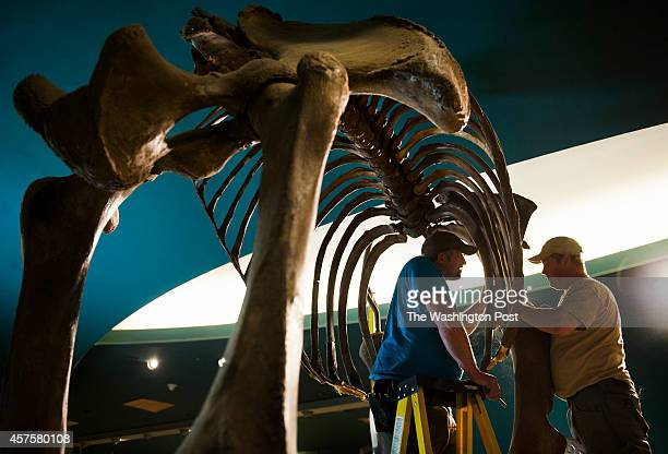 Brett Crawford and Matt Fair deconstruct the skeleton of a Wooly Mammoth at the Smithsonian Museum of Natural History in Washington DC on October 20...