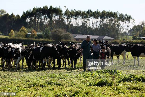 Brian and Diane Henderson move cattle at a dairy farm on April 18 2012 in Morrinsville New Zealand Raw milk sales are growing as more people are...