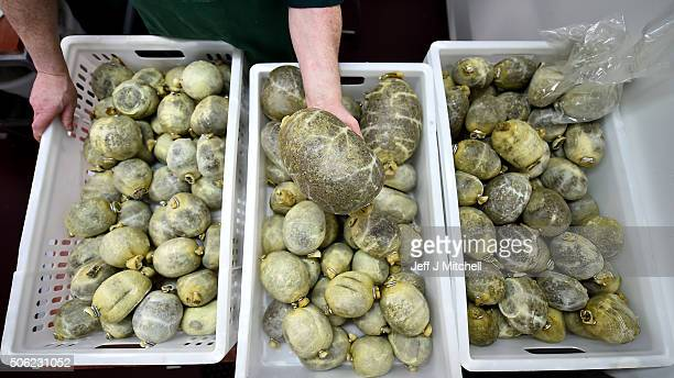 Brian Barclay manager at Crombies butchers finishes preparing haggis ahead of Burns night on January 22 2016 in Edinburgh Scotland People around the...