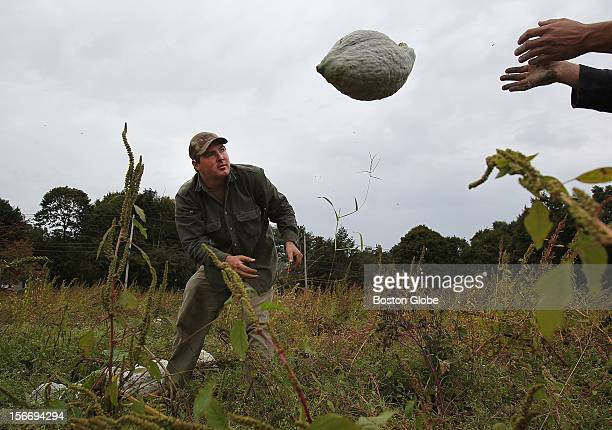 Brian Rosado harvests hubbard squash at Ward's Berry Farm