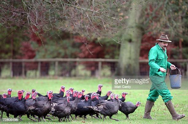 Brian Taplin feeds the freerange Norfolk Black organic turkeys on Laverstoke Park Farm on their final day before being killed for the Christmas Day...