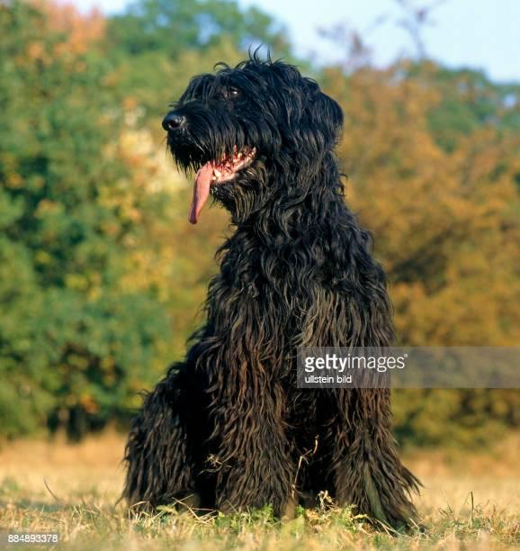 Briard auch Berger de Brie ein schmucker franzoesischer Hirtenhund der heute oft auch als Wach und Familienhund gehalten wird