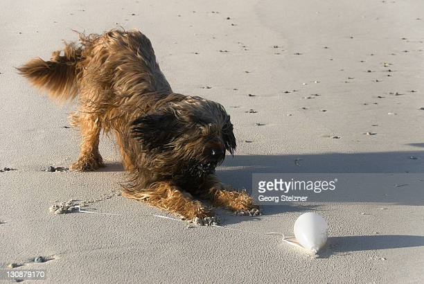 Briard, Berger de Brie, dog playing with balloon on the beach