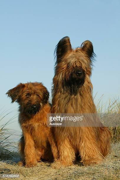 Briard Canis familiaris female with puppy