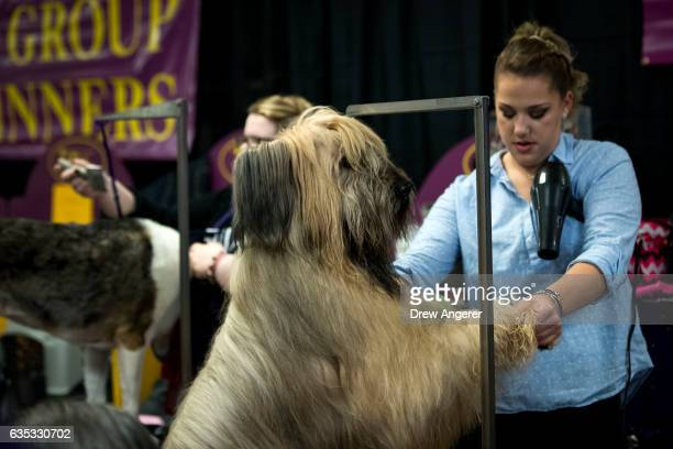 Briard dog is groomed backstage before competition on the final night of the Westminster Kennel Club Dog Show at Madison Square Garden February 14...