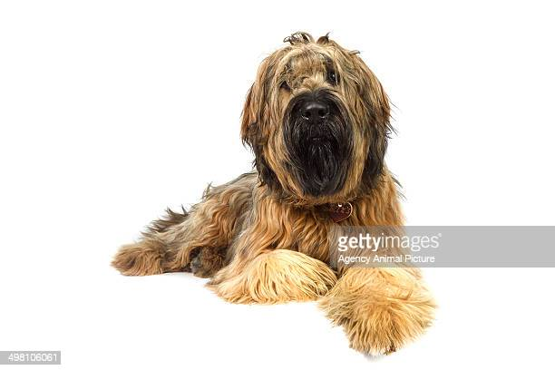briard - briard stock photos and pictures