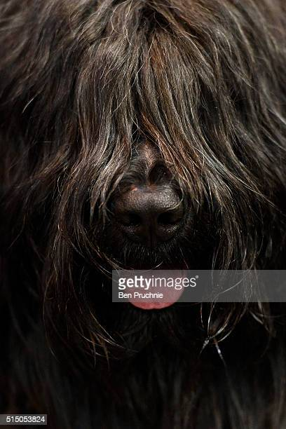 A briard poses for a photograph on the third day of Crufts 2016 on March 12 2016 in Birmingham England First held in 1891 Crufts is said to be the...