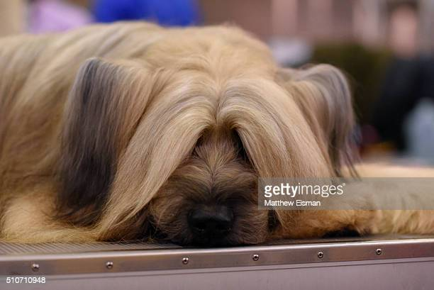 Briard rests in the benching area during day two of competiton at the Westminster Kennel Club 140th Annual Dog Show at Pier 92/94 on February 16 2016...