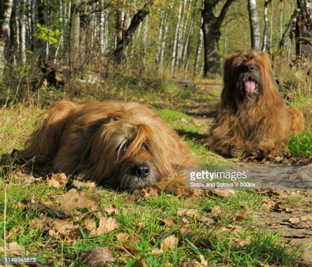 briards - briard stock photos and pictures