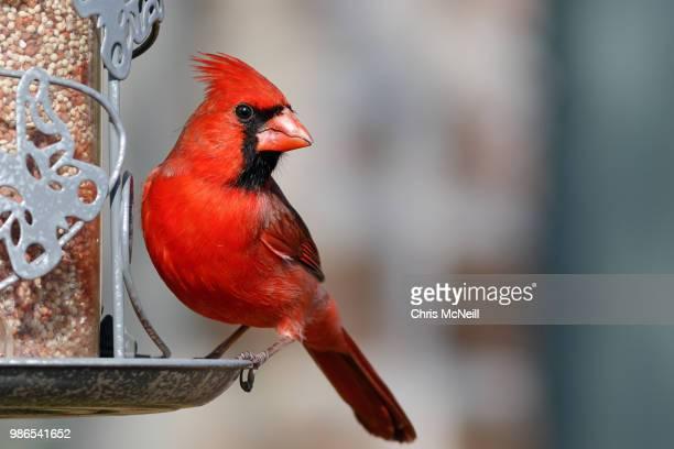 bribery - cardinal bird stock pictures, royalty-free photos & images