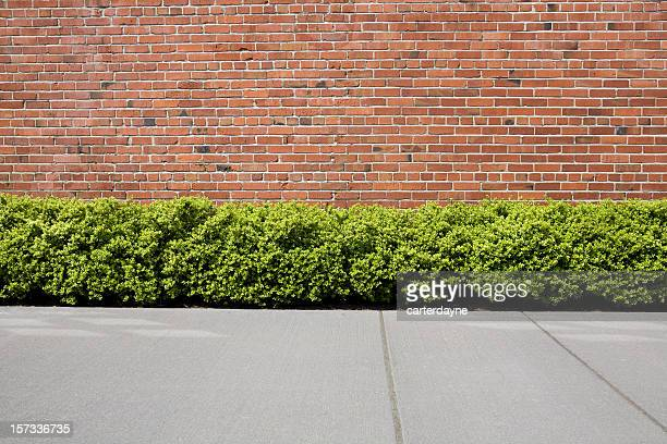 brick wall with hedge shrubs as background or backdrop - bush stock pictures, royalty-free photos & images