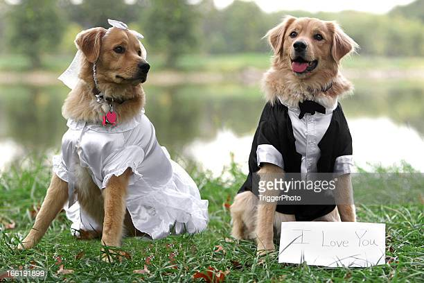 bride and groom dogs - wedding veil stock photos and pictures