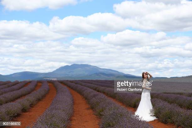 A bride poses for photos in the lavender rows at Bridestowe Lavender Estate on January 10 2018 in Launceston Australia The estate runs over 260 acres...