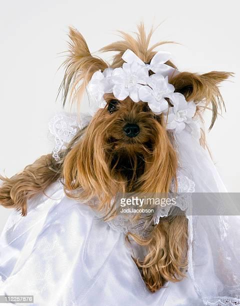 bride yorkie