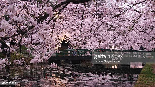 bridge over the lake wit flower tree in foreground - aomori prefecture stock pictures, royalty-free photos & images
