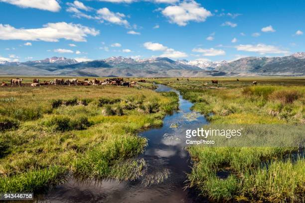 bridgeport valley cattle - great basin stock pictures, royalty-free photos & images