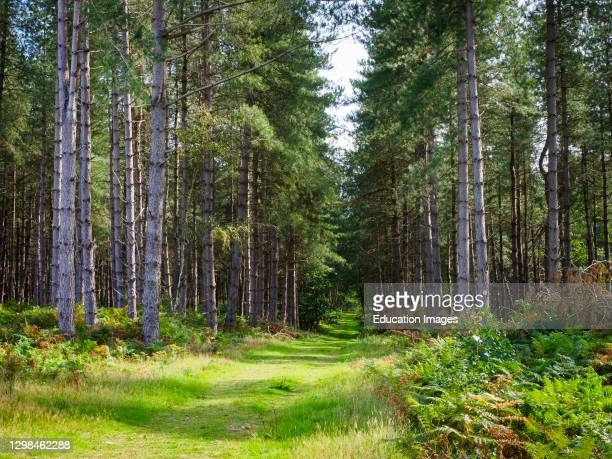 Bridle Path through pine woodland, Thetford Forest, Norfolk, UK.