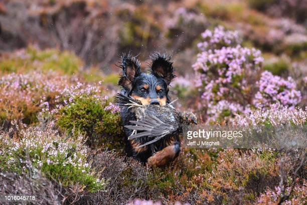 Brig the dog retrieves a grouse shot on first day of the grouse shooting season on Forneth Moor on August 13 2018 in Dunkeld Scotland Gamekeepers are...