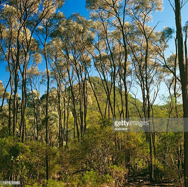 Brigalow tall trees with shrub understorey of False sandalwood framing an outlying peak in the valley of Myall Creek Carnarvon Station Brigalow has...
